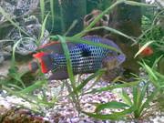 Продаю аквариумных рыбок : цихлид