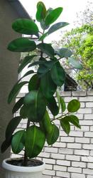 ПРОДАМ ФИКУС.  Домашнее растение. 120 см,  12 лет.
