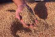 Куплю пшеницу продовольственную второго класса