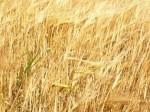 семена озимых-рапса, ячменя, пшеницы