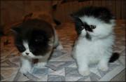 Очаровательные персидские котята-экстремалы окраса чёрный биколор