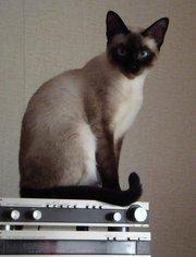 сиамские ( тайские) котята