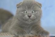 Шотландские плюшевые котята