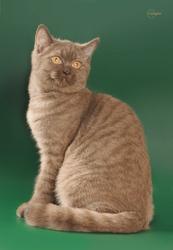 Шотландский котенок от титулованных родителей