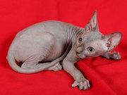 Котята канадский сфинкс
