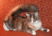 Продаются  котята породы Мейн Кун