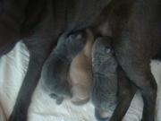 Шар-пей щенки голубого и лилового окраса.