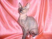 Донской сфинкс элитный клубный котенок