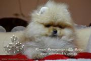Элитные щенки померанского шпица VIP-classa,  Тип-Мишки!