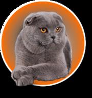 Куплю  вислоухого кота голубого