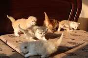 Продам недорого котят персидской кошки!