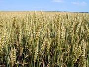 семена озимой пшеницы, зимостойкий сорт