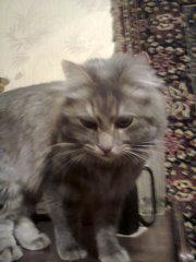 пропал член семьи кот Мурик