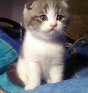 Щекастенький шотландский фолд котик - вислоухий очаровашка