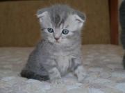 Продам шотландских вислоухих и прямоухих котят!