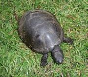 Куплю болотных черепах,  большими партиями