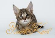 Продаются котята Чаузи