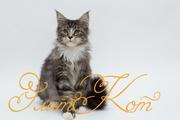 Продается котенок породы Мейн кун