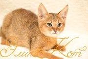 Продаются котята Чаузи Ф1