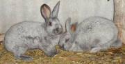 Предлагаю племенных кролей породы