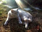Вязка кошек. Породистый британец