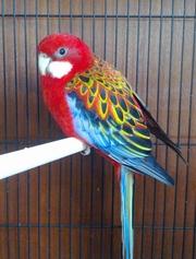 продам попугаев розелл