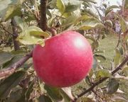 Продам яблоко оптом