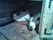 Продам Калифорнийских кролей