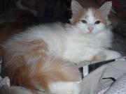 Котенок Мейн-кун. Девочка,  крупная , редкий окрас