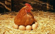 Продам оптом и в розницу цыплят,  гусят.