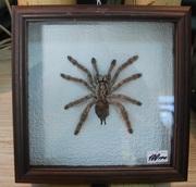 Продаются коллекционные пауки-птицееды разных видов