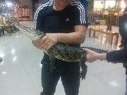 НИЛЬСКИЙ КРОКОДИЛ Crocodylus niloticus - 1.2 метра - 1000$.
