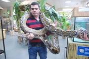 Сетчатый питон - самка 5 метров