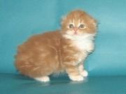 Шотландские котята хайленды