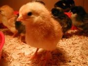 продам индюшат и цыплят всевозможных пород