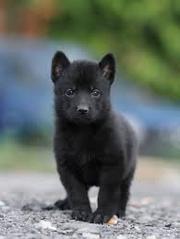 продам щенков чёрной немецкой овчарки