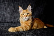 Чистопородные  Мейн-кун котята