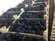 Виноград сорт