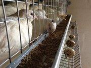 Продам цыплят перепелов породы Техасский белый