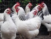 Продам цыплят суточных и месячных породы Адлерская Серебристая