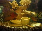 Продам рыбки флавер хорн