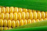 Кукуруза на экспорт 50 000 т  Одесса. Поставка CIF