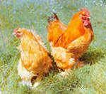 продам инкубационные яйца породы Брама