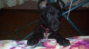 Продам щенка Немецкой овчарки,  черный,  метис с немецким курцхааром