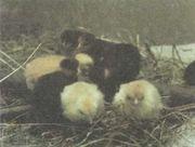 Продам цыплят породы Голошейные