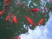 декоративный прудовый китайский карась ярко красный