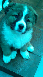 Красивые щенки Алабая и Бенрского Зенненхунда