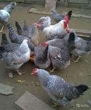 Подрощенные цыплята несушки Борковская барвистая