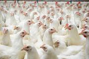 Суточные и подрощенные цыплята бройлера КОББ 500, качественное яйцо Сло