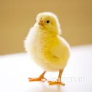 Цыплят бройлера КооБ-500